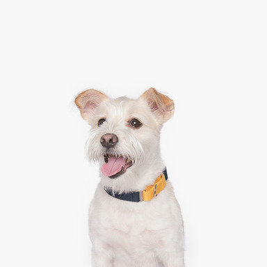 Martingale Collar (Yellow/Navy)